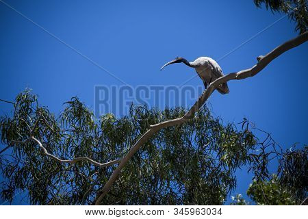 White Ibis Perching On Branch On Sunny Day In Sydney