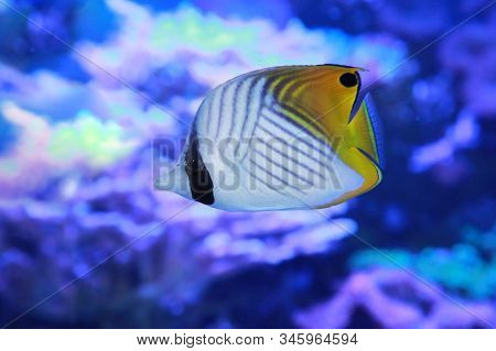 Auriga Butterflyfish, Chaetodon Auriga, Also Known As The Threadfin Butterflyfish, In Sea Water