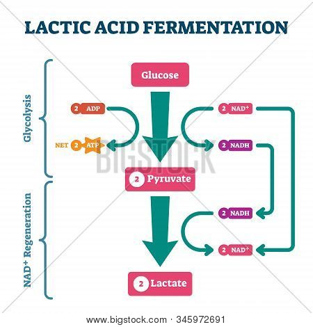 Lactic Acid Fermentation Process Scheme, Labeled Vector Illustration Diagram. Biological Stages With