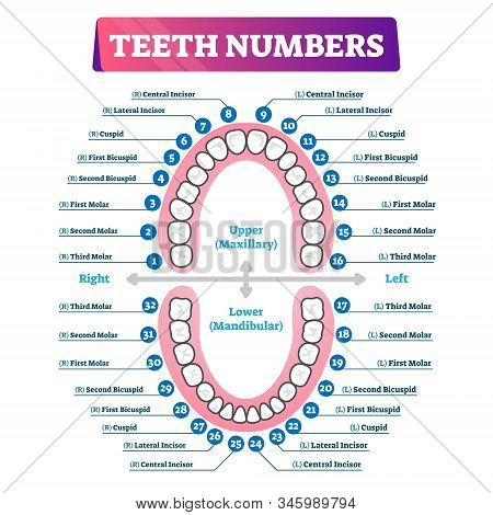 Teeth Numbers Oral Cavity Scheme With Upper And Lower Jaws And Incisor, Cuspid, Bicuspid And Molar T