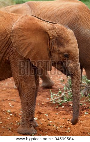 Baby elephant at the David Sheldrick Elephant Orphanage in Nairobi, Kenya