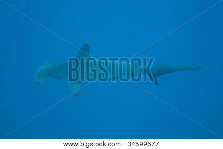 Hammerhead Shark In Open Water