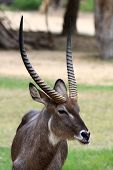 Common Waterbuck bull  Kobus ellipsiprymnus  in zoo poster