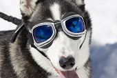 Husky wearing sunglasses protection against the sun poster
