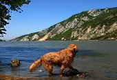 golden retriever dog over scenic river on Danube riverbank in Serbia at summertime poster
