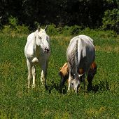 A grazing herd of horses with white horses poster