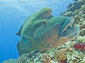Large male napoleon wrasse on a tropical coral reef wall poster
