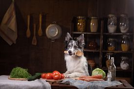 Dog In The Kitchen. Healthy, Natural Food For Pets. Border Collie Holds A Spoon. Animal Health