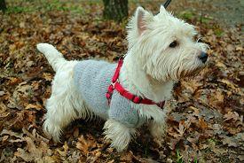 White West Highland Terrier On A Walk