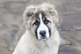Cute Caucasian Shepherd Puppy. Caucasian Shepherd Dog Is 4 Month.