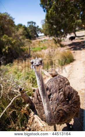 Ostrich stands in the bright sun stares at camera