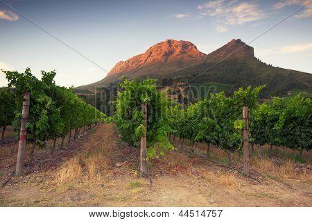 Vineyards Around Stellenbosch, Western Cape, South Africa, Africa.