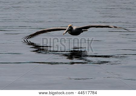 beautiful large pelican and the gray water