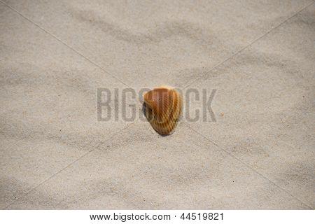 Orange Ark shell on a clean white sandy beach