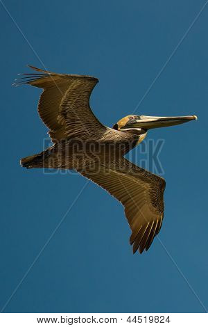 beautiful large pelican in a clear blue sky
