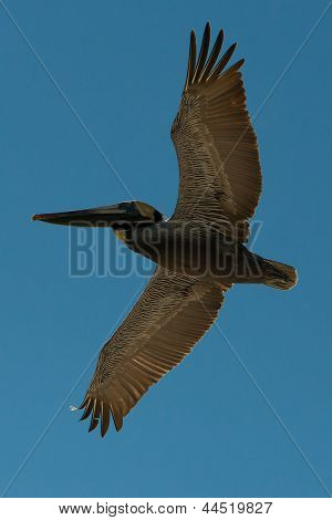 beautiful large pelican in a blue sky