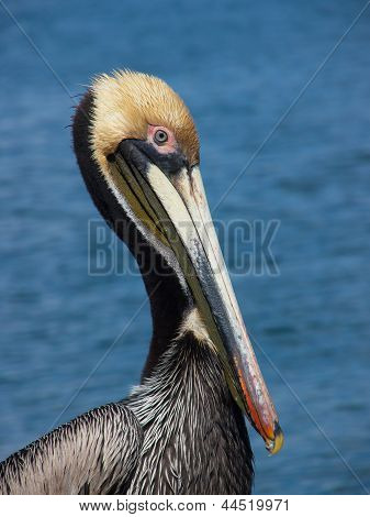 beautiful pelican