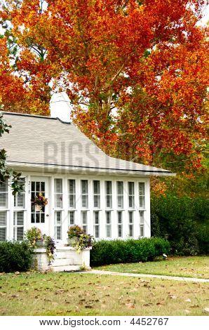 Golden Oak In The Fall