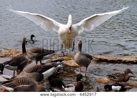 Swan Commander