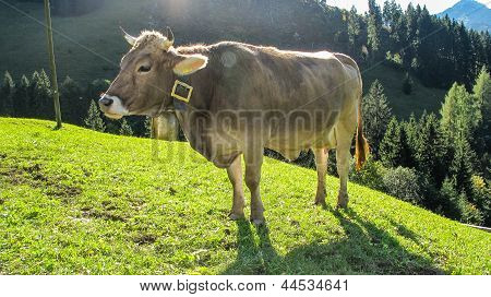 Cow in bavarian alpine surrounding with bell poster