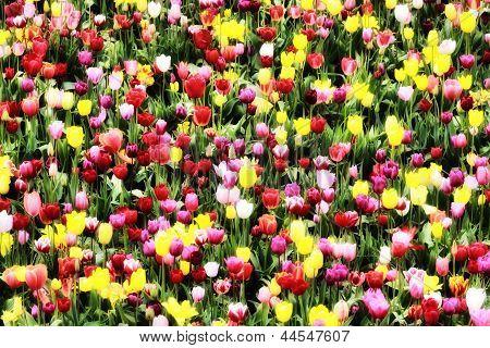 Tulip Diversity