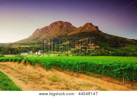 Landscape Image Of A Vineyard, Stellenbosch, South Africa..