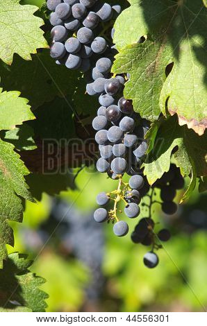Grape Bunches Hanging From Vine..