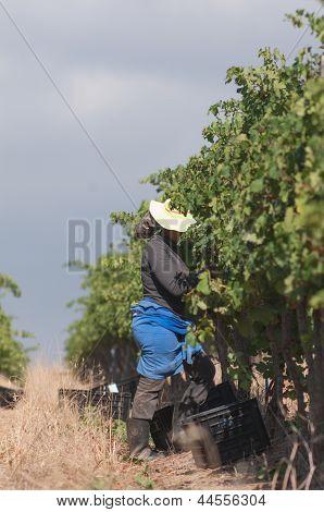 Picking Grapes, Stellenbosch, South Africa