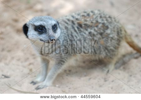 Side face portrait of a meerkat