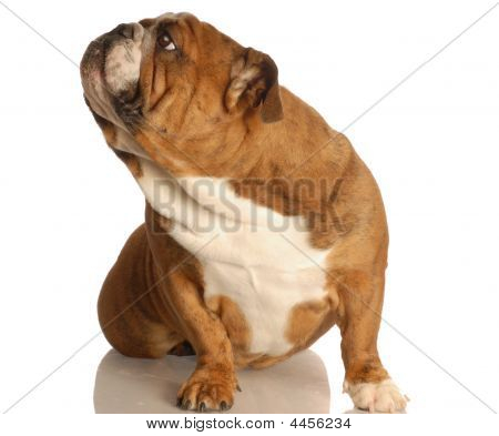 english bulldog sitting on floor looking up ignoring viewer poster