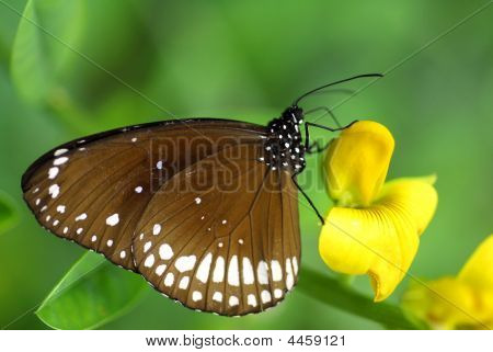Brown White Butterfly Insect