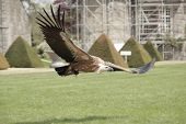 A griffon vulture flying during a falconry show poster