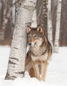 Grey Wolf (Canis lupus) Stands Next to Birch Tree - captive animal poster