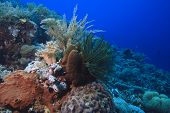 soft corals (dendronepthya) feeding in currents on coral reef poster