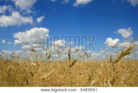 Ripe Wheat Against The Blue Sky