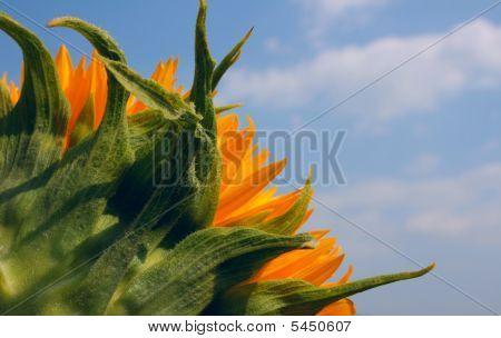 Sunflower Against A Cloudy Sky