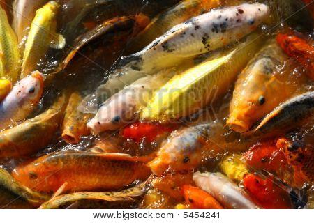 Many of the goldfish