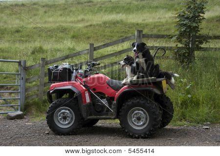 Sheep Dogs On A Quad Bike