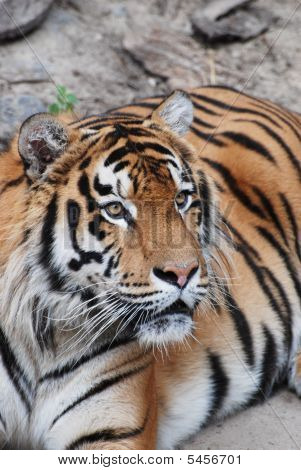 The Large Young Beautiful  Amur   Tiger