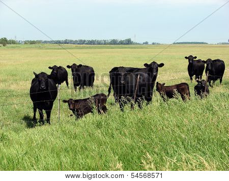 Cattle at the fence