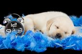 Labrador puppy sleeping on blue feathers with alarm clock ready to ring poster
