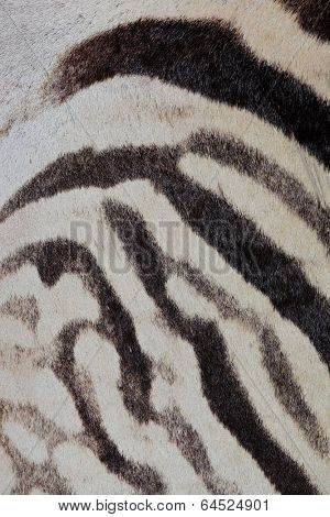 Close-up view of the skin of a Plains (Burchells) Zebra (Equus burchelli)