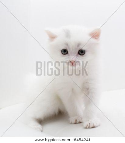 Small White Cat