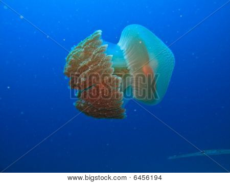 Side View Of Jelly Fish On Great Barrier Reef Australia