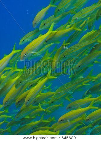 Yellowtail Fish On Great Barrier Reef Australia