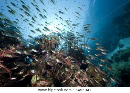 ocean and golden sweepers taken in the Red Sea. poster