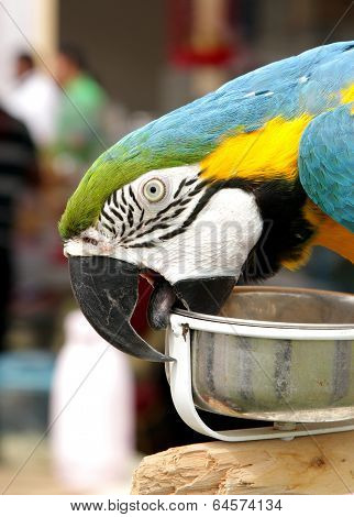 A beautiful macaw biting its food container