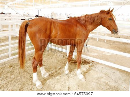 A beautiful brown arabian horse with white foots