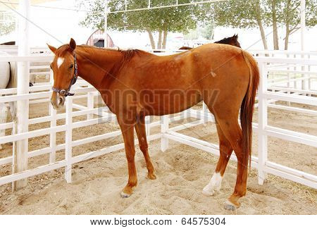 A beautiful tall brown arabian horse