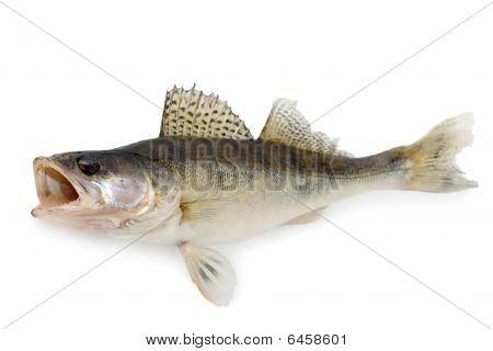 Walleye Or Zander